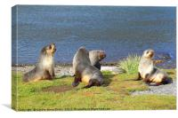 Antarctic Fur Seals, Canvas Print