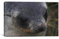 Antarctic Fur Seal Portrait, Canvas Print