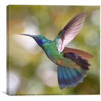 Green Violetear Hummingbird, Colibri thalassinus, , Canvas Print