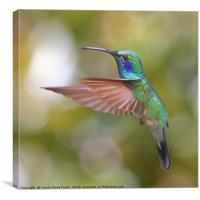 Green Violetear Hummingbird, Canvas Print