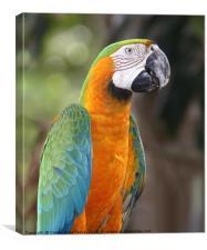 Harlequin Macaw, Canvas Print