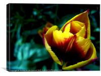 sunset Tulip, Canvas Print