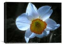 Spring White Daffodil, Canvas Print