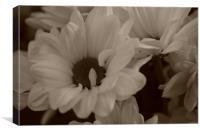 White Giant Daisy, Canvas Print