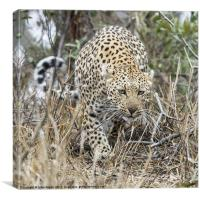 Female Leopard stalking, Canvas Print