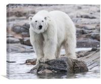 Hungry Polar Bear on Rock, Canvas Print