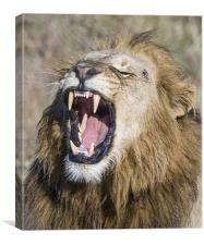 Male Lion roaring, Canvas Print