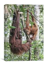 Mother Orangutan and daughter, Canvas Print
