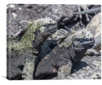 Fernandina marine iguanas sunbathing, Canvas Print