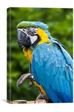 Blue Parrot, Canvas Print