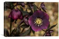 Purple Hellebore, Canvas Print