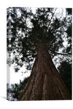 Tall tree, Canvas Print