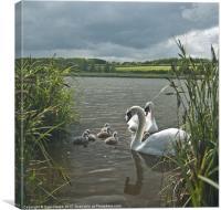 Swan Storm, Canvas Print