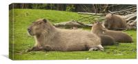Sleep Capybara, Canvas Print