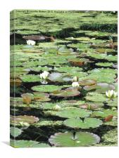 Water Lilies, Nymphaea alba, Canvas Print