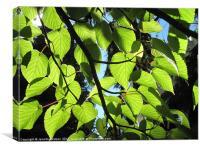 Backlit Lime Leaves, Canvas Print