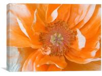 Pale Orange Poppy, Canvas Print