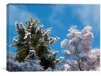 Snowy Treetops, Canvas Print