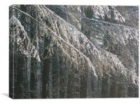 Snow Falling off Larches, Canvas Print