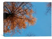 Looking up at Larch, Canvas Print
