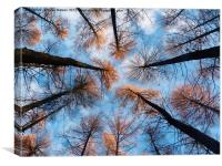 Looking up at Larches, Canvas Print