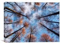Looking up at Larch 2, Canvas Print