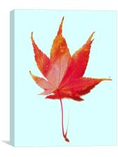 Red maple leaf, Canvas Print