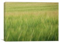 Barley, Canvas Print