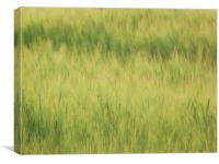 Barley 2, Canvas Print