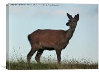 Red deer hind, Canvas Print