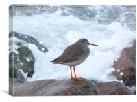 Redshank on the rocks, Canvas Print