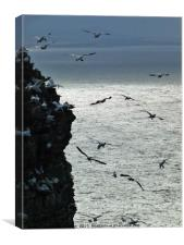 Gannets at Troup Head, Canvas Print