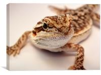 baby bearded dragon, Canvas Print