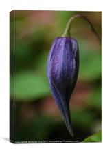 Clematis Bud, Canvas Print