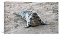 grey seal - female, Canvas Print
