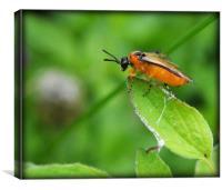 Orange-fly, Canvas Print