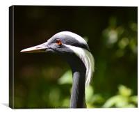 Demoiselle crane, Canvas Print