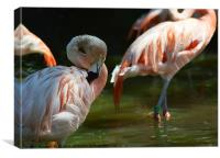 Chilean flamingo, Canvas Print
