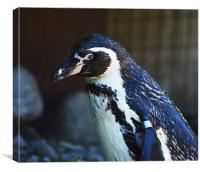 Humboldt penguin, Canvas Print