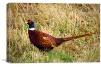 Pheasant in the grassland, Canvas Print