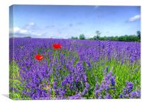 Mayfield Lavender Fields 3, Canvas Print