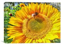 Bumble Bee And Sunflower, Canvas Print