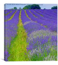 Mayfield Lavender Fields 5, Canvas Print
