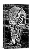 Zebra Feeding, Canvas Print