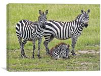 Zebra Family, Canvas Print
