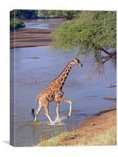 Giraffe Crossing Stream, Canvas Print