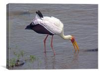 Yellow Billed Stork, Canvas Print