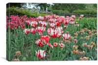Red and White Tulips, Canvas Print