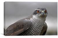 Male Sparrowhawk., Canvas Print