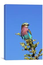 Lilac Breasted Roller, Canvas Print